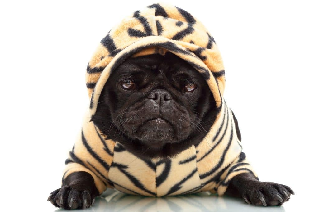 pug in pajamas